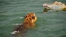Тигр в деле! Тигр против крокодила, медведя , слона..