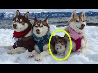 Кошку спасли и вырастили хаски.  Теперь она считает себя собакой..!