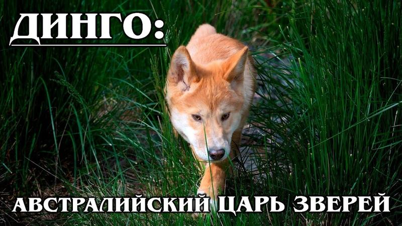 ДИНГО Дикая собака Динго Главный хищник Австралии