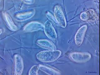 Инфузории colpidium sp. фазовый контраст. 500х; 1000х