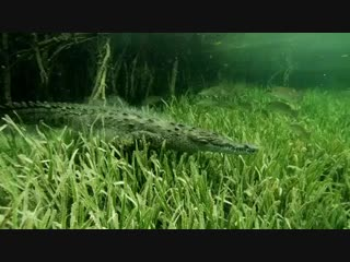 Take a deep breath and enjoy this saltwater crocodile cruising around the dusty sea floor