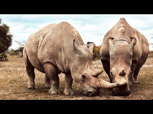 These Two Rhinos Are The Last Of Their Kind | Seven Worlds, One Planet | BBC Earth