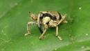 Cute Weevil from Ecuador grooming itself