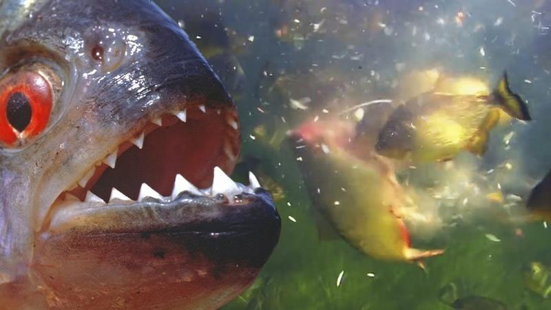 Пираньи агрессивные речные монстры Самые зубастые и прожорливые рыбы