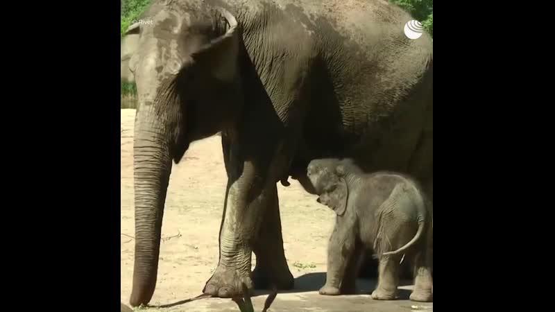Веселый слоненок стал звездой Кельнского зоопарка