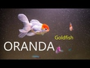 Оранда Золотая Рыбка Ест Ряску