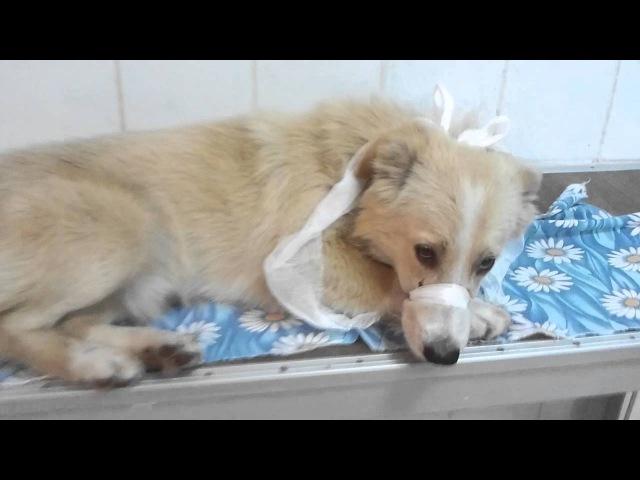 собака со сломаной лапой с ул Казачья