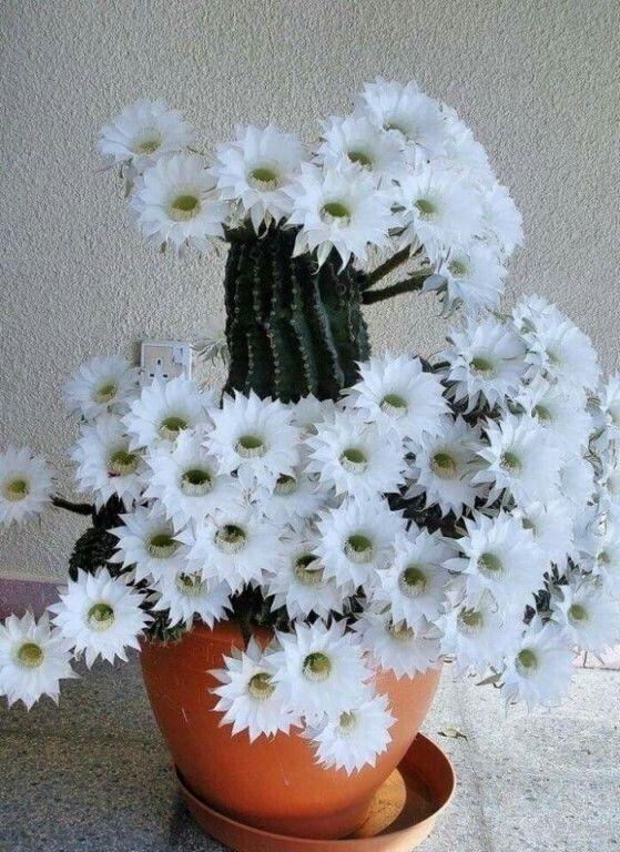 Цветущий кактус!👍