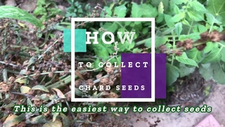 How to Collect Chard Seeds
