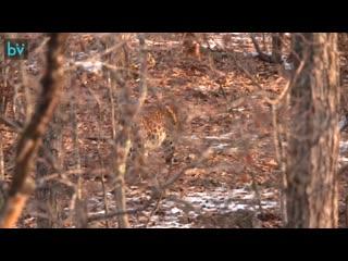 Корейский фотограф снял на видео леопарда в нацпарке в Приморье