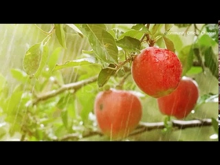 The sound of rain falls for 10 hours on the apple, Rain Drops Sound for Relaxation & Sleep