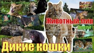 Животный мир Земли. Дикие кошки (Wild cats)