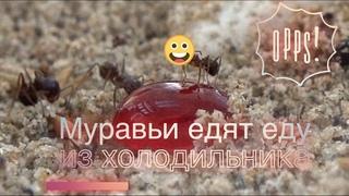 ЭКСПЕРИМЕНТ №2 Реакция муравьев МЕССОРОВ на еду из холодильника Творог, Варенье и Гречка