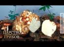 Белый трюфель. Царство грибов