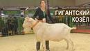 Гигантский козел-производитель Зааненской породы. Выставка Золотая Осень-2017