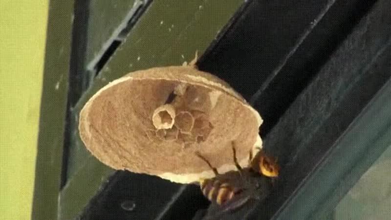 Гигантская королева шершней строит гнездо