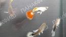 Гуппи Санта Клаус Poecilia reticulata