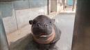 ミニカバの赤ちゃん 手乗りサイズだったけど大きくなりました! / Adorable baby pygmy hippo at Japanese aquarium
