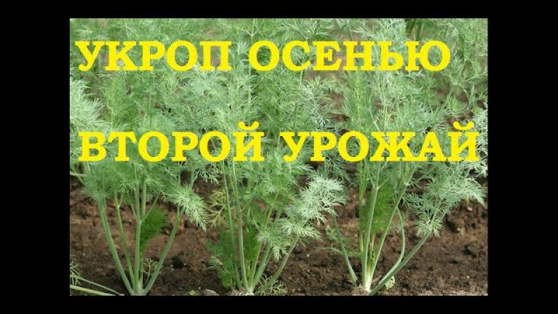 Укроп сажаем после уборки чеснока Да здравствует второй урожай