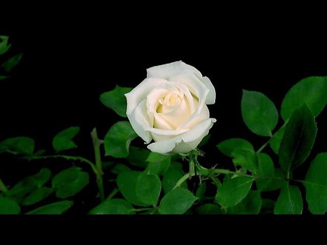 Анимации розы распускаются