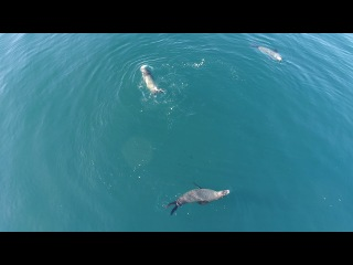 Морской лев ест маленькую акулу детеныша (sea lion eating small shark 2)