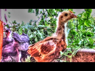 New Baby Chickens From The Poultry Auction   Homestead Kids