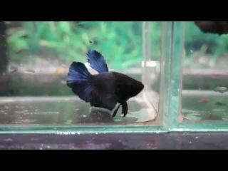 For Auction: Melano Black HM/SD Sibling Pair (Siamese Fighting Fish)(newlisting)