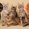 Бенгальские котята и кошки