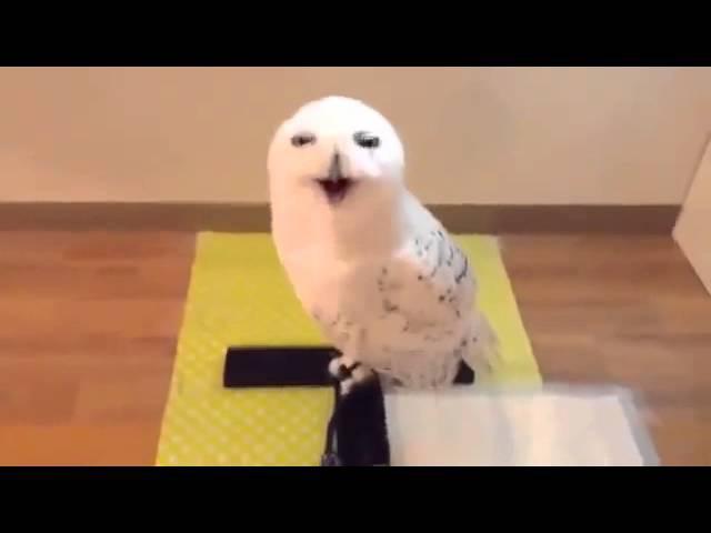 FunnyAnimals 9 Смех совы