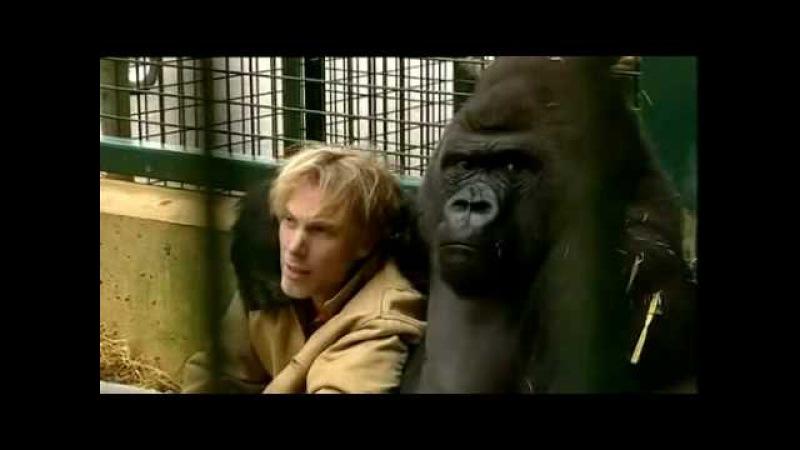 Gorilla Gorilla - Damian Aspinall Kifu at Howletts Wild Animal Park, Kent