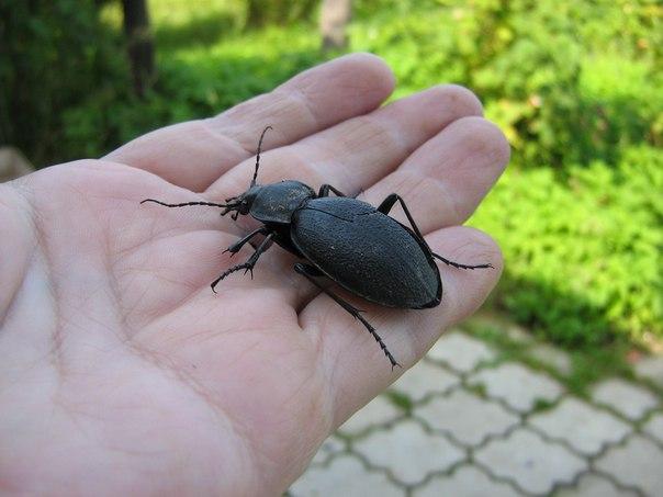большие жуки в подмосковье фото