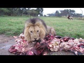 Мясо, свежее мясо! Голодные львы бегут к еде