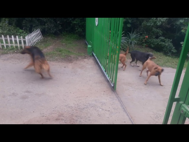 Brave dogs fighting at gate