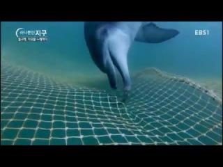 Выпуск дельфинов Taeshan и Boksun из неволи  в 2015 году.