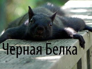 Черная Белка - большая редкость в наших краях !!!