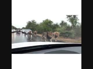 Львы остановили движение на дороге (6 sec)