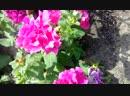 2018-07-20 Мои любимые цветочки