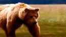 Настоящая жизнь медведей в дикой природе
