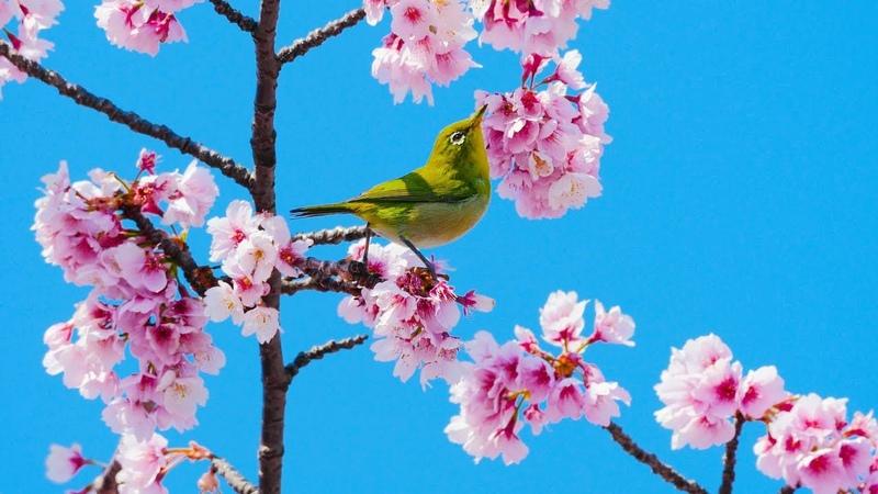[ 4K ] 浅草 隅田公園 早咲きのオオカンザクラとメジロ Early flowering cheryy blossoms White-eye in Asakusa,TOKYO.