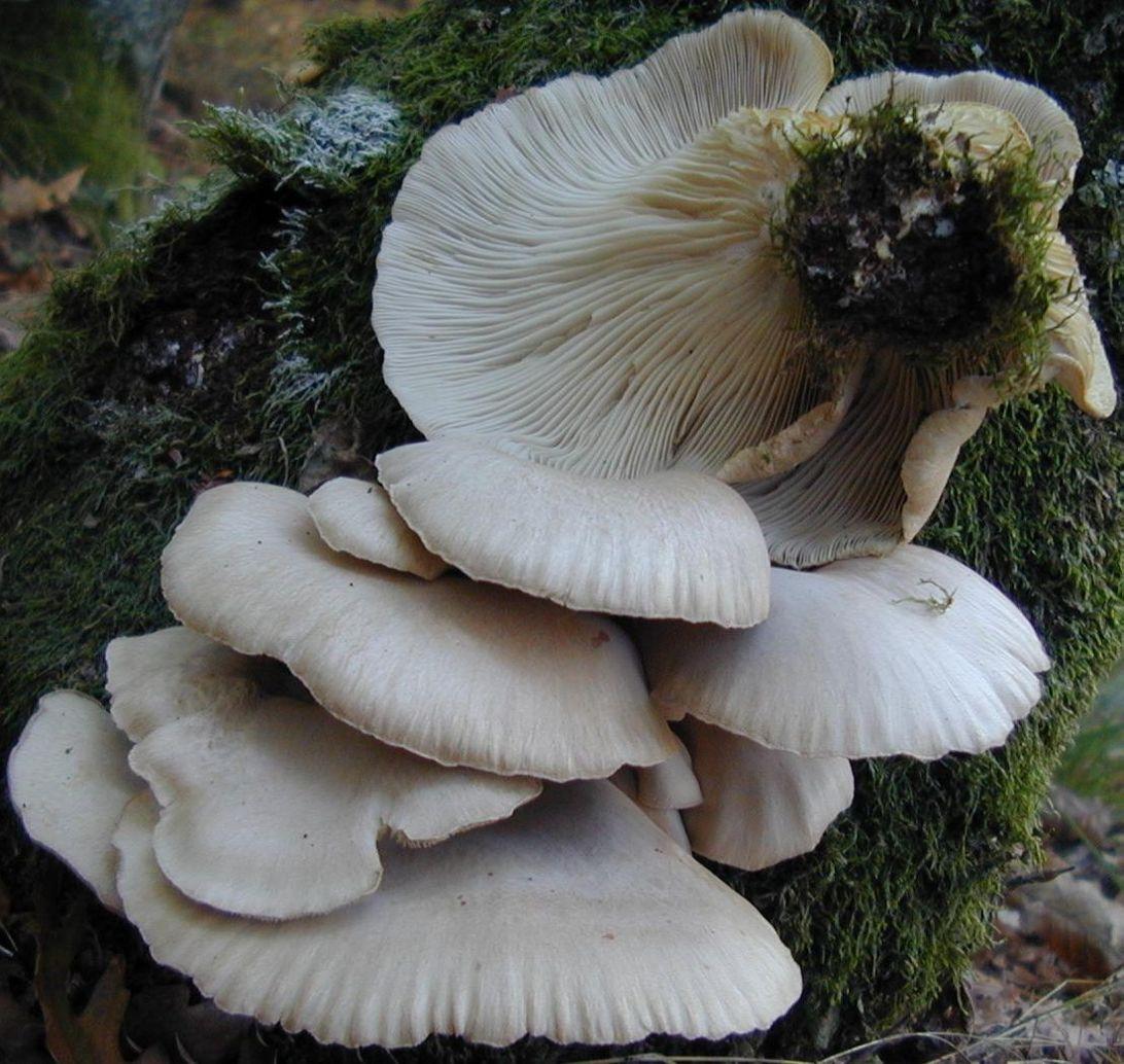 вешенки грибы фото съедобные всегда