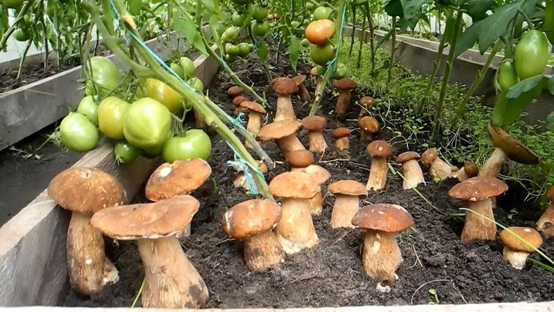Как вырастить много белых грибов на своем участке результат