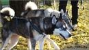 Веселые хаски Джесси и Локи идут на прогулку ~ Funny husky Jesse Loki go for a walk
