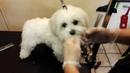 стрижка cобак порода малтезе,Мальтийская болонка , неухоженные,запутанная собака,Maltese,Moser Max45