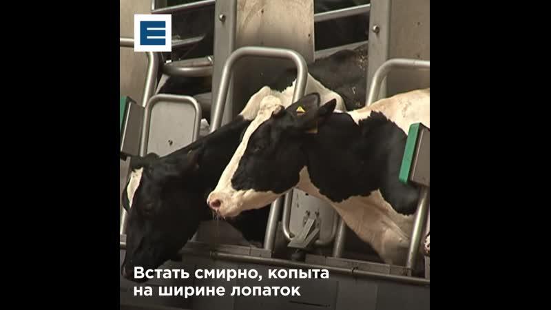 В Шушенском коров катают на карусели, чтобы они давали больше молока