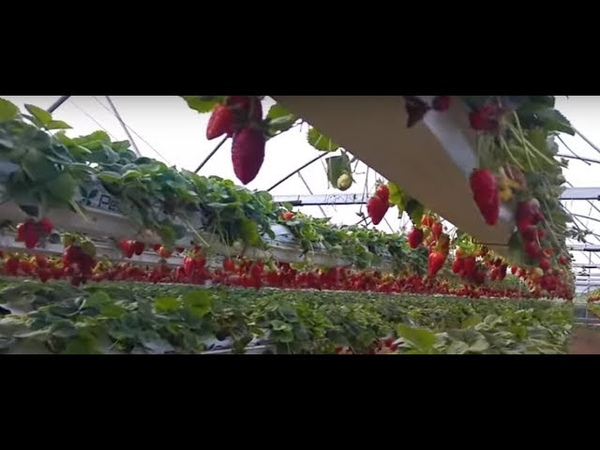 Клубника на гидропонике гидропонная установка как правильно сажать клубнику Питательный раствор