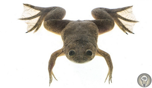 Ксеноботы: живые нанороботы из клеток лягушки В далеком 1495 году Леонардо да Винчи создал чертеж живых доспехов. И лишь спустя 425 лет чешский фантаст Карел Чапек впервые использовал слово