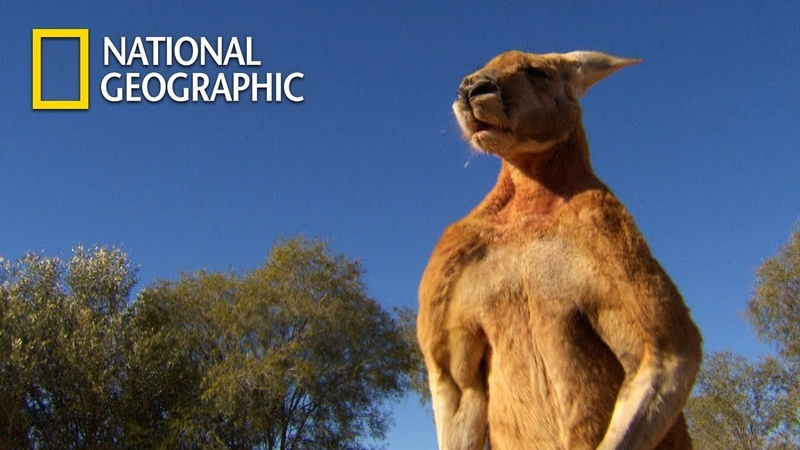 Muscular Kangaroos' Martial Arts Match|National Geographic