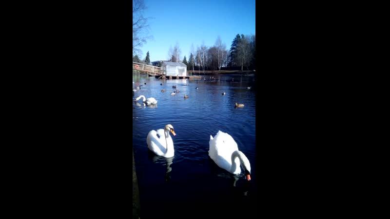Лебяжий пруд Приморский парк победы