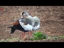 Нильские гуси пасутся (нем. Nilgänse grasen) (анг. Nile geese graze)