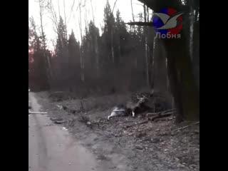 Лобненский таксист сбил лося в районе Круглого озера